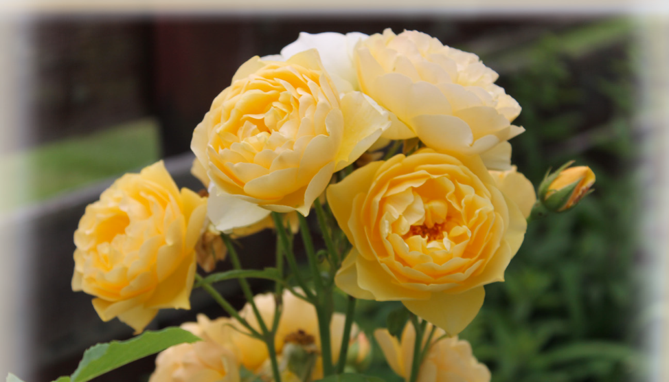 Official Centennial Rose Planting Cancelled Due to Weather
